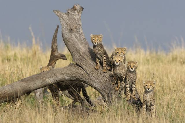 6 cheetah cubs, 4 weeks old