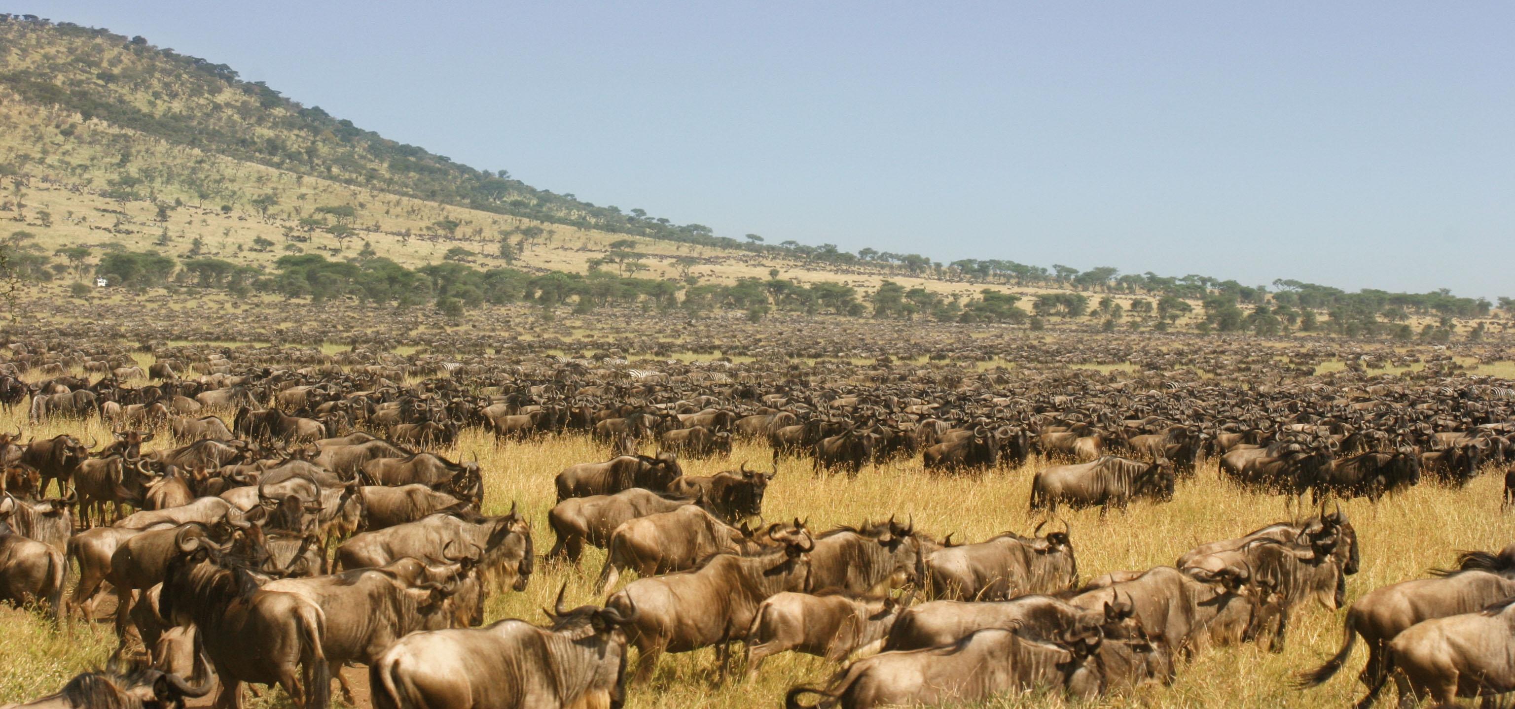 Wildebeest Herd - Piper Mackay Photography: www.pipermackayphotography.com/programs/mountain-gorillas/img_2383