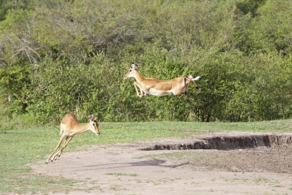 Leaping Gazelle