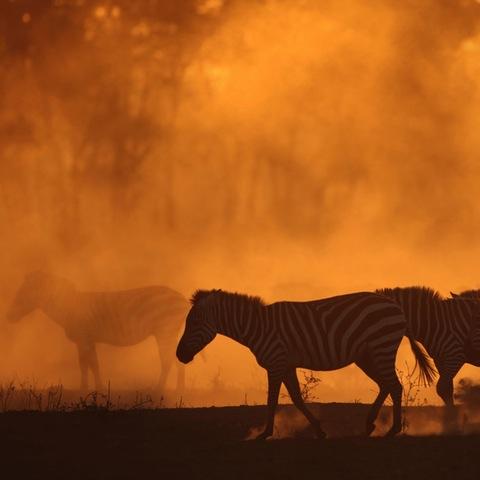 Silhouette of zebras