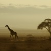Giraffe roaming across the great plains of Amboseli, Kenya