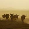 Wildebeest moving through a dust storm, Amboseli, Kenya