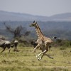 Baby Giraffe, 24 days, running with the herd, africa