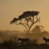 Zebra in a dust storm, Amboseli, Kenya