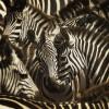 Zebra migration, Maasai Mara, Kenya