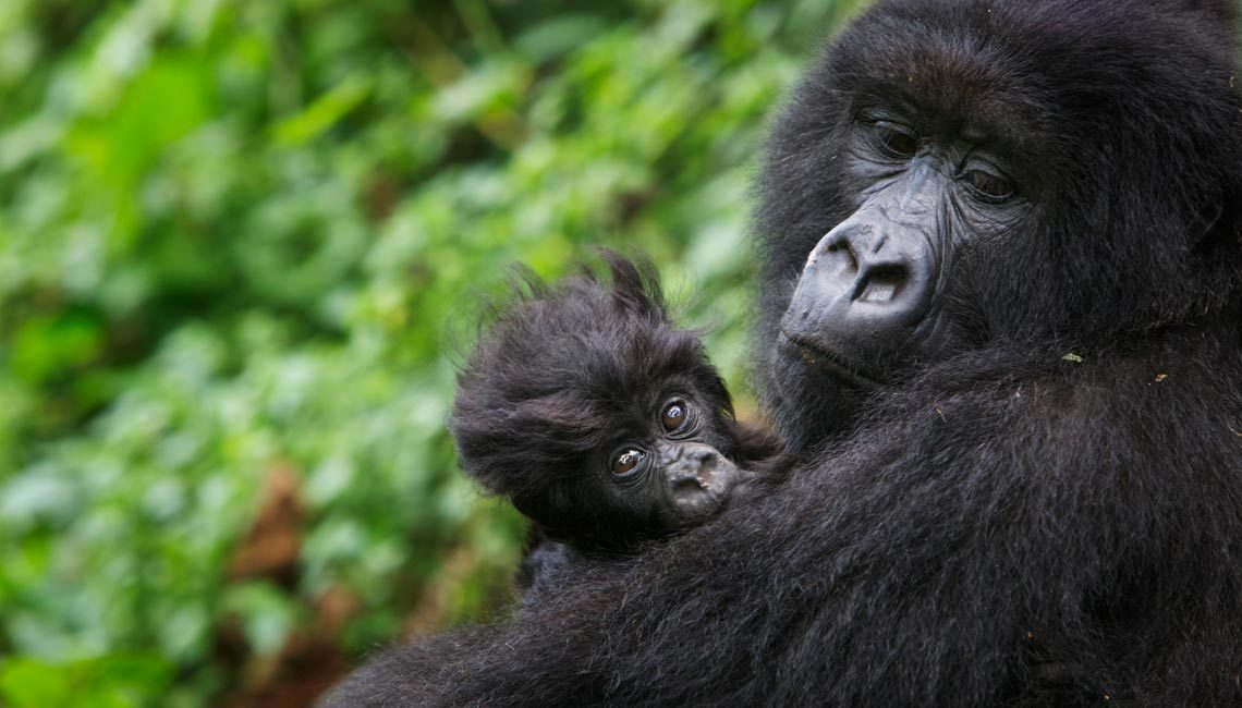 Gorilla sperm pills