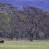 Cape Buffalo, Nakuru, Kenya