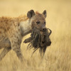 Spotted hyena with prey, Amboseli, Kenya