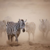 Zebras coming through the dust in Amboseli, Kenya