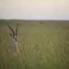 Grant's gazelle, Maasai Mara, Kenya
