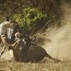 Lion bringing down a wildebeest, Maasai Mara, Kenya
