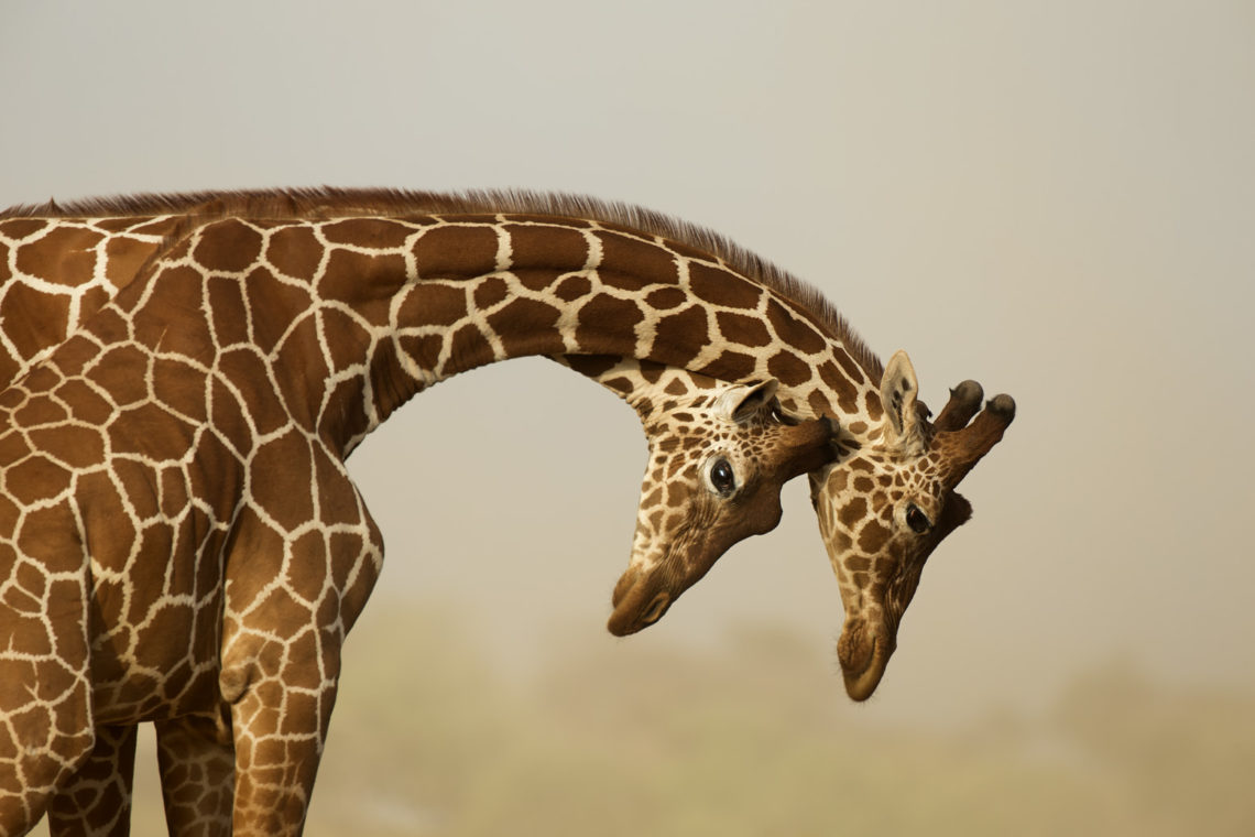 Photograph of two reticulated giraffe necking