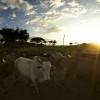 Bringing in the livestock, Omo Valley, Ehtiopia