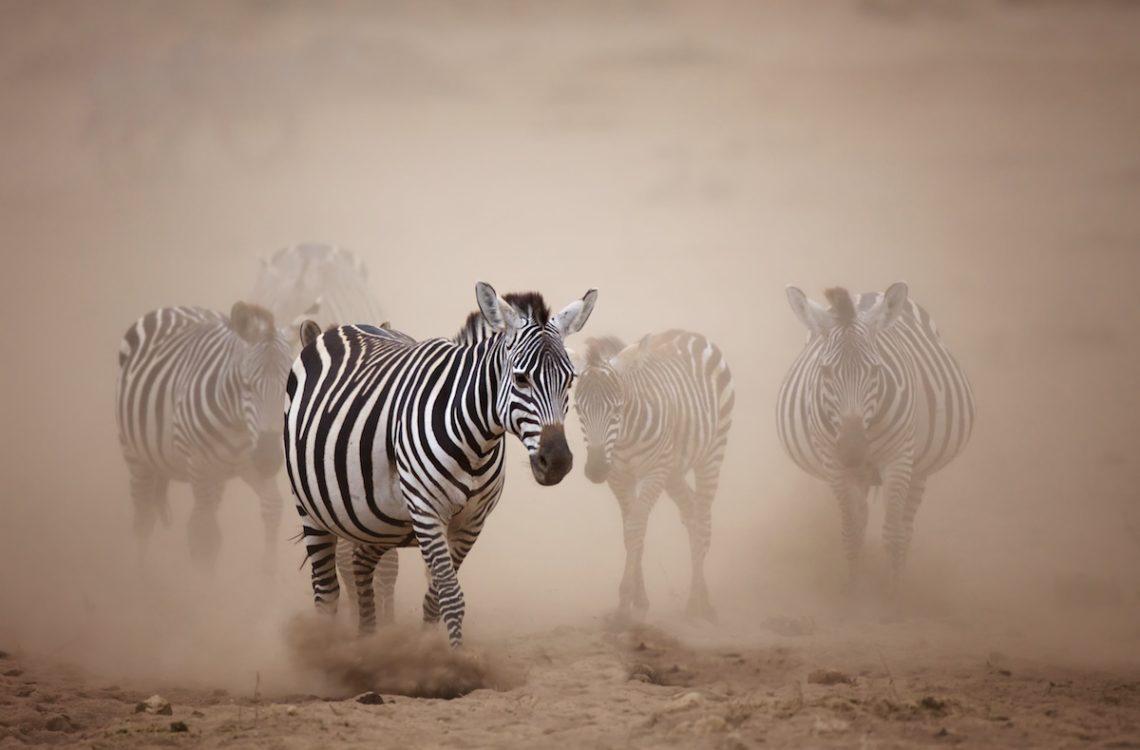 Zebra Africa Piper Mackay
