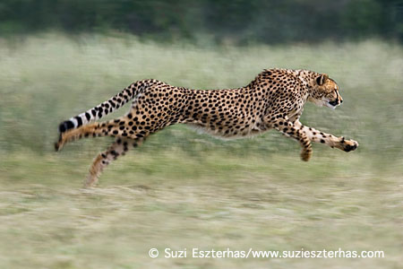 Cheetah Acinonyx jubatusRunning Cheetah Conservation Fund, Namibia