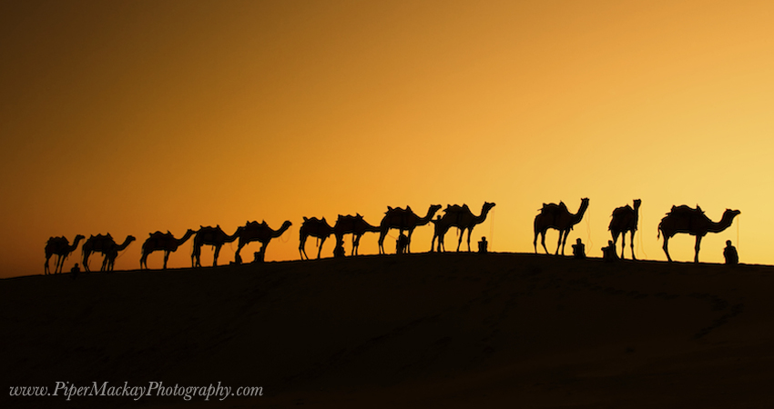 India-photo-tour-camels