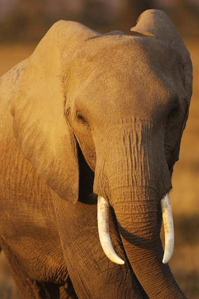 AFrica-Photo-Safari-Elephant-Ken13Amb1DX_4876