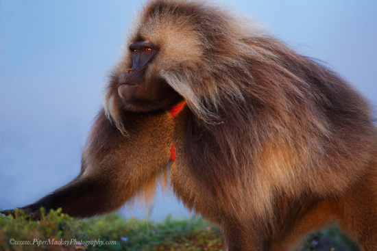 Gelada-Baboons-Photo-tour