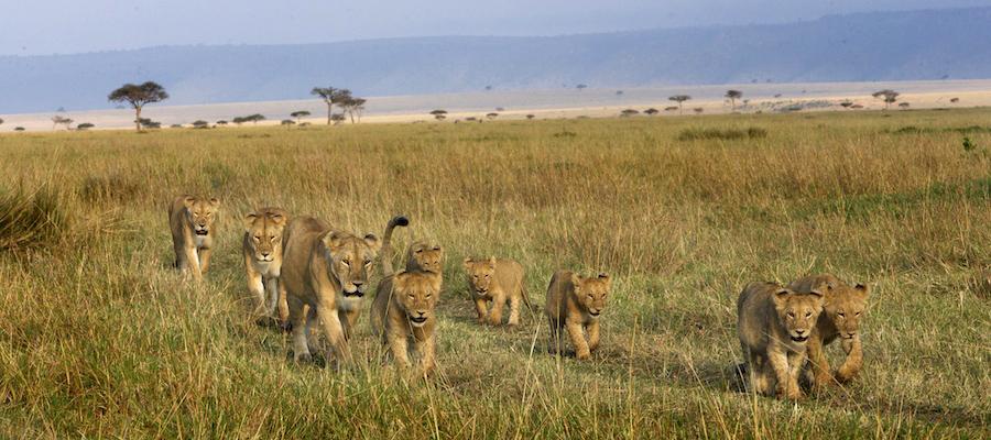 16b0e038 Lions-Africa-Safari- MaraAugN3449 - Version 2 - Piper Mackay Photography