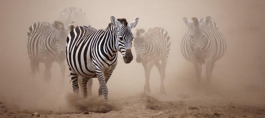 Zebra-safari-africa-Ken13AmbIMG_2623 (1)