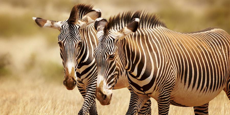 grevy zebras , samburu, kenya