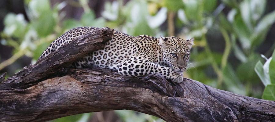 leopard-africa-safari-piper-mackay-KWSAugN1404