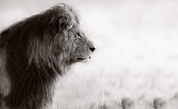 Lion-Africa-safari-blog
