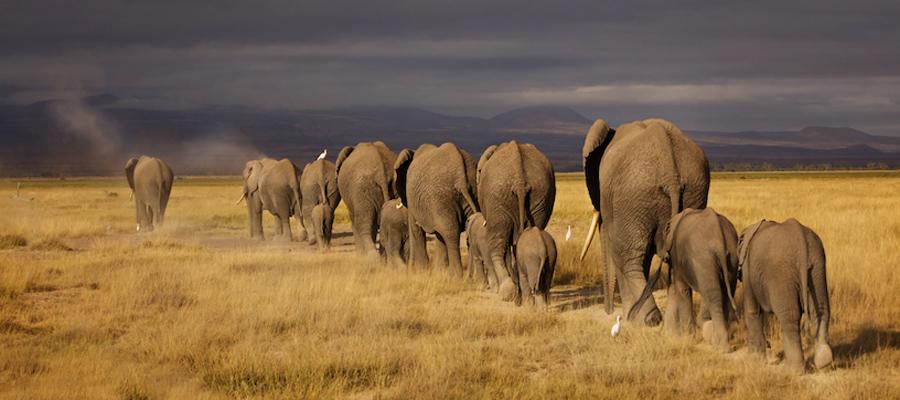Elephants-Safari-Africa-Amboseli-Kenya-Ken13AmbIMG_2686
