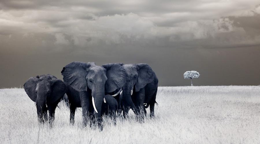 Elephant-Africa-Safari-IMG_1605