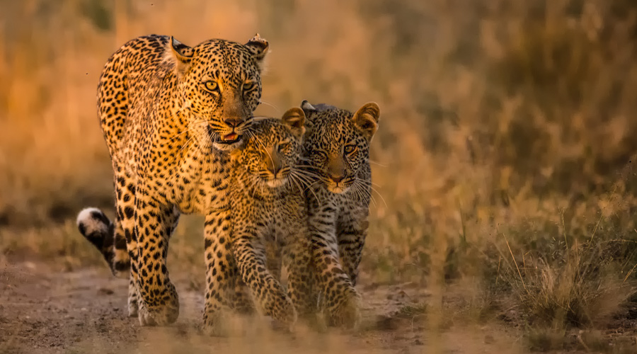 Leopard-cubs-Africa-Safari-BV2U3356-Edit