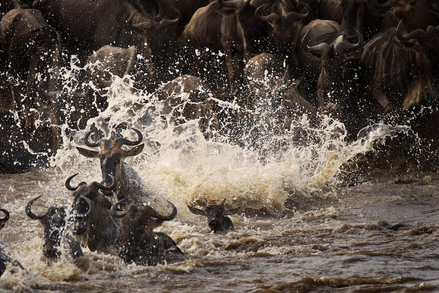 Connochaetes taurinus, Great migration wildebeest crossing the Mara River, Kenya