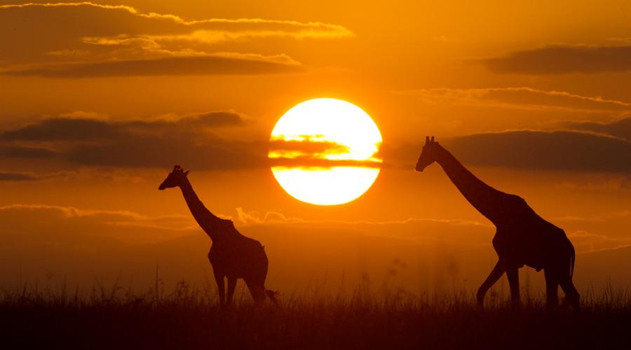 giraffe-Africa-Safari-BV2U9608