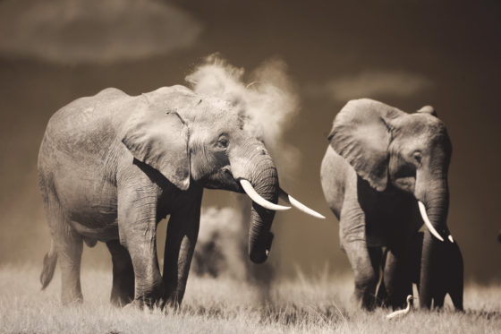 Elephant throwing up dust