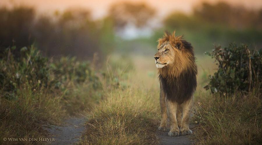 LionWim
