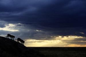 Lions-Africa-Safari-piper-mackay- TANSeptN882