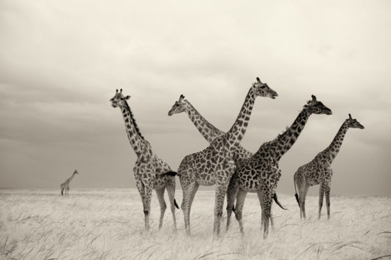 Group of Giraffe on the plains