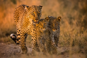 leopard cubs safari