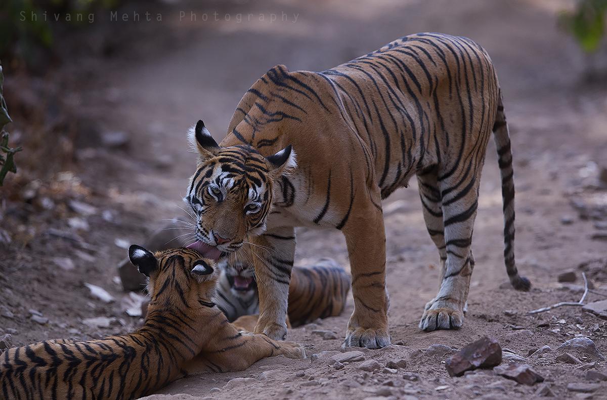 India Tiger Photo Tour