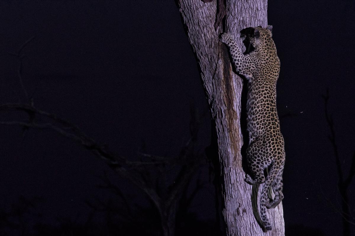 Leopard climbing a tree in Botswana