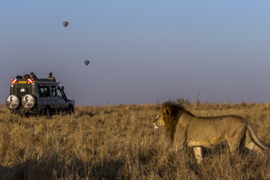 lion-africa-safari-tirecoverbv2u5114