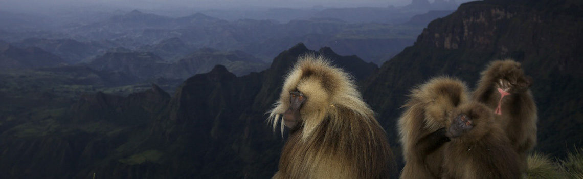 Gelada Baboon in the Simians Mountains