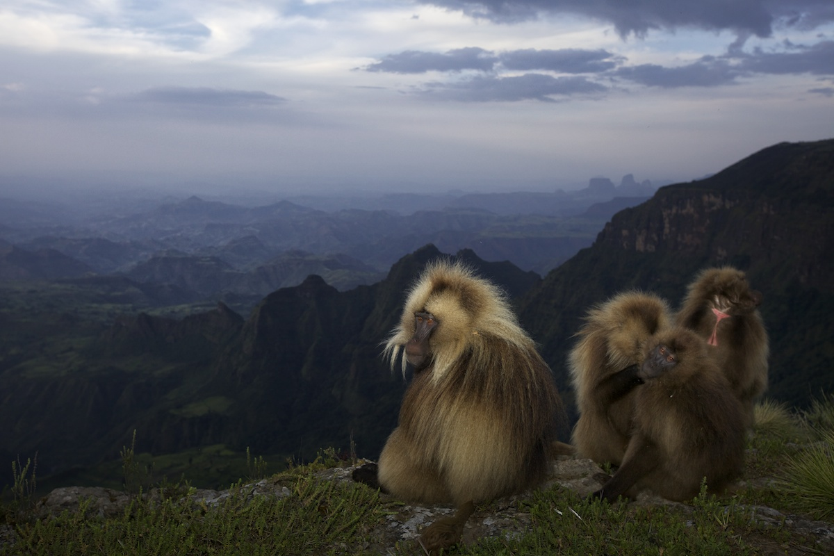 Gelada baboons lit with flash