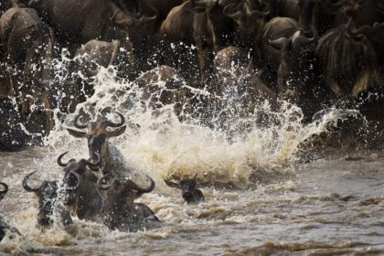 Great Migration crossing the Mara river while on Safari