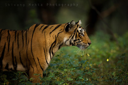 Photograph of a Bangal Tiger in India