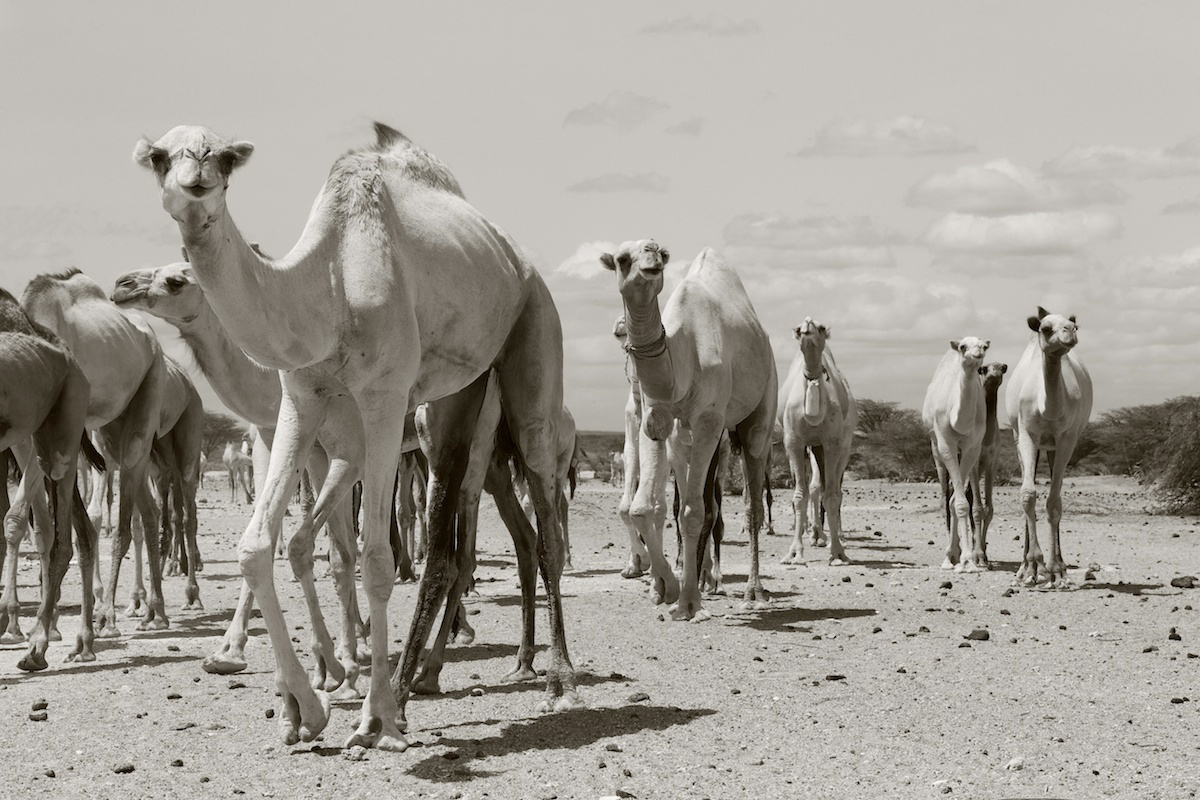 Camels coming across the Chalbi Desert in Northern Kenya